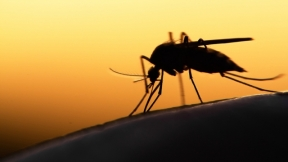 An Improvised Genetic Death to Mosquitoes?